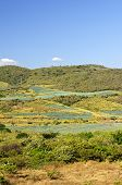 Agave Cactus Field Landscape In Mexico