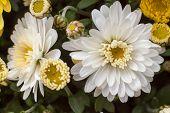 Chrysanthemums awaken