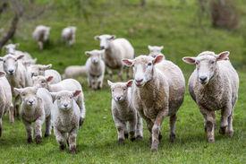 stock photo of baby sheep  - New Zealand green grass farm sheep lambs - JPG