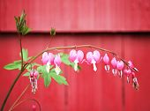 image from plant series - bleeding heart flower (dicentra spectabilis)