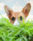 picture of corgi  - a cute corgi hiding in green grass  - JPG