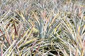 background of pineapple fruit field