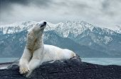picture of polar bears  - White polar bear on the ice - JPG