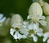 Speckled Bush Cricket on Bladder Campion