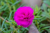 Portulaca flowers at the garden