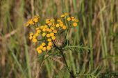 image of tansy  - Blossoms of common tansy  - JPG