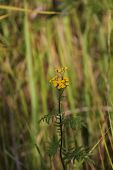 picture of tansy  - Blossoms of common tansy  - JPG