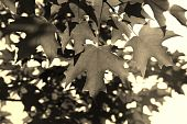 Maple Leaf - Sepia Tone