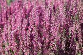 stock photo of small-flower  - Heather flowers - JPG