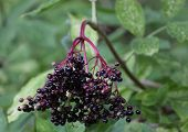 Постер, плакат: Elder Berries