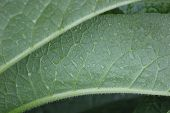 picture of century plant  - Hairy leaves of a comfrey  - JPG