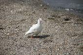 White Dove Is On The Sea Shore