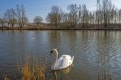 Swan swimming along the shore of a canal