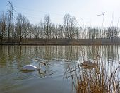 Swans swimming along the shore of a canal