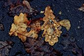 Oak fallen leaves