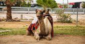 stock photo of oasis  - Camel in the desert oasis in Israel - JPG