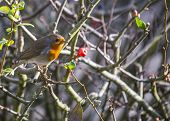 foto of red robin  - Robin Red Breast spotted in National Botanic Gardens Dublin Ireland - JPG