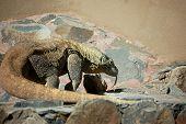 foto of komodo dragon  - Big komodo dragon  - JPG