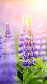 Blue Wild-growing Flowers Of A Lupine