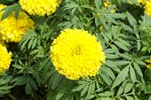 picture of marigold  - Yellow marigold flower in the garden, Yellow Marigold flower.