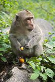 Rhesus Macaque The Best-known Species Of Old World Monkeys