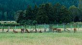 Deer Farming