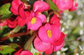 picture of begonias  - Blossoms of ornamental Begonia x semperflorens - JPG