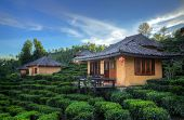 Tea Plantation And Hut In Ban Rak Thai