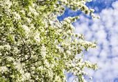 blooming branches of apple trees against the blue sky