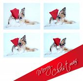 Merry Christmas With Collie Dog
