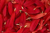Red Chrysanthemum Petal Background