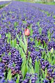 Field of blue hyacinth with red tulip