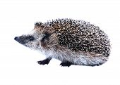 Little Forest Hedgehog Isolated
