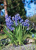 Blue Hyacinth Flowers On A Sunny Day