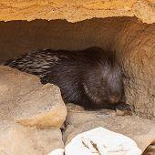 Huge Porcupine