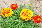 Beautiful red and yellow flowers in garden