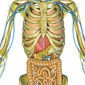 Skeleton and digestive system