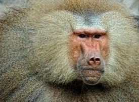 foto of tarzan  - close up of a baboon with its beautiful fur - JPG