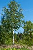 stock photo of birching  - Beautiful natural background with long thin birch trees with green leaves in a birch grove - JPG