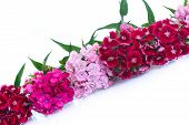 image of carnation  - bright bouquet of carnations on a white background - JPG