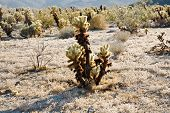 picture of monocots  - beautiful Cholla Cactus Garden in Joshua Tree national park in afternoon sun - JPG