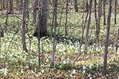 image of trillium  - Forest floor covered with pretty white Trilliums - JPG
