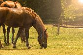 stock photo of horses eating  - Two Brown Horses Eating Grass in Field at Sunset