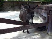 image of donkey  - A domestic donkey  - JPG