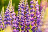 image of wildflower  - Summer wildflowers lupine - JPG