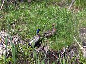 stock photo of canard  - A pair of mallard ducks  - JPG