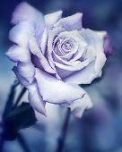 image of night-blooming  - Vintage rose at night - JPG