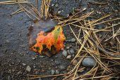 The Aspen Leaf