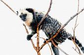 foto of titi monkey  - Monkey white - JPG