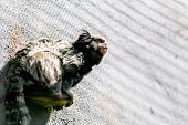 picture of marmosets  - Monkey black - JPG